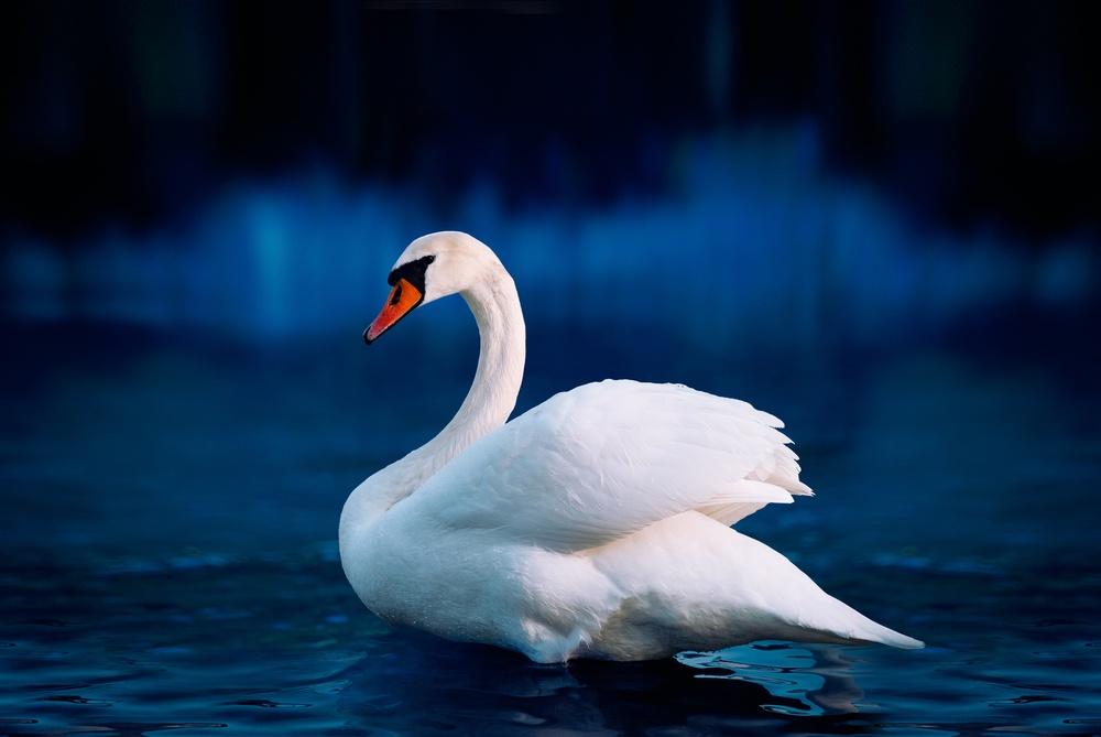 """Action for America 2.0's """"White Swan Event"""""""